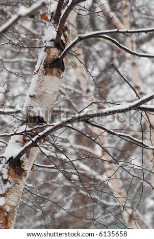 Snow covered birch trees during snowfall in winter park - stock photo