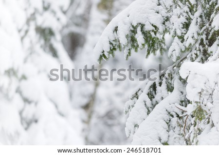 Snow covered branches of evergreen tree during winter with light snowfall, Sweden - stock photo