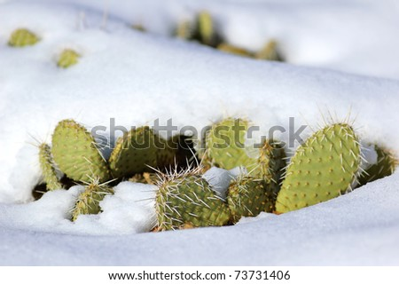 Snow covered cactus (Zion National Park, Utah, USA) - stock photo