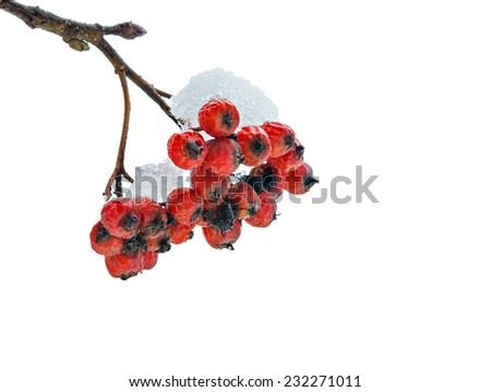 Snow-covered European ash-berry isolated on white - stock photo
