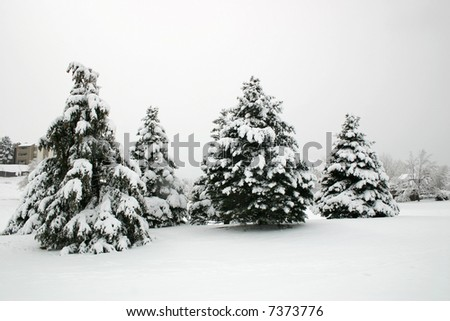 Snow covered evergreen trees on a snowy, foggy winter day. - stock photo