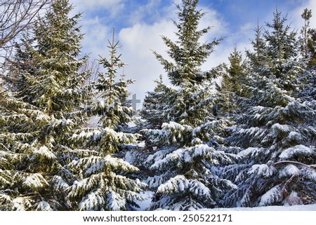 Snow covered evergreen trees the morning after a light snowstorm in Western New York - stock photo