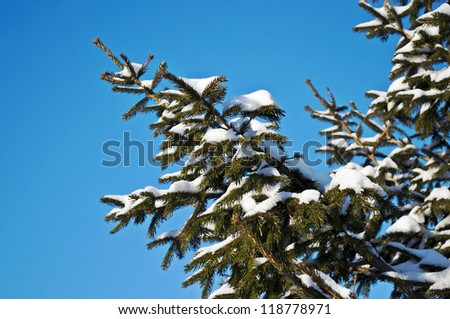 Snow-covered fir branches in winter forest on sunny day