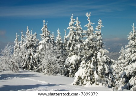 snow covered fir trees in winter Carpathian mountains