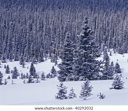 Snow covered forest in Banff National park, Alberta Canada.
