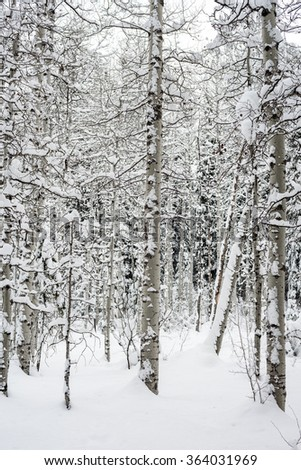 Snow covered forest of winter Aspen trees