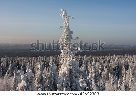 snow-covered  high fir tree, winter forest  on background - stock photo