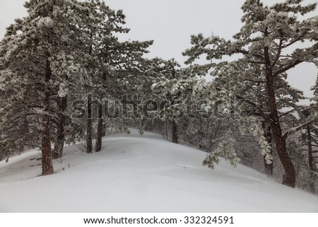 snow-covered pine forest in the fog in the mountains - stock photo