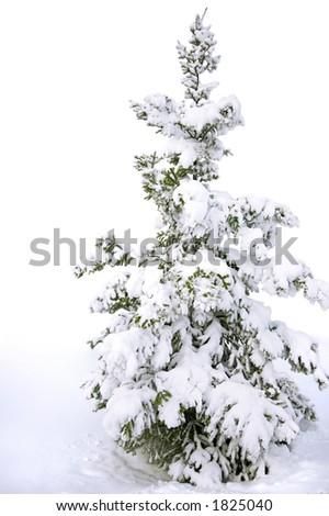 snow covered pine tree - stock photo