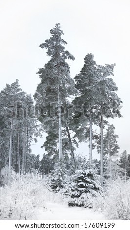 Snow covered pine trees in Scandinavian winter - stock photo