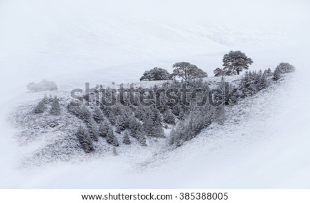 Snow covered Scots Pine trees at Glenmore Forest Park, Cairngorms in the Scottish Highlands, UK. - stock photo