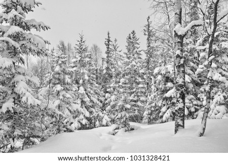 Snow covered spruce trees in snowy winter forest. Black and white.