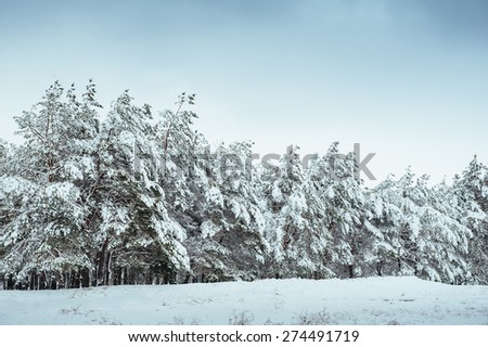 Snow-covered tree branch at sunset. Winter background. Christmas and New Year Tree.