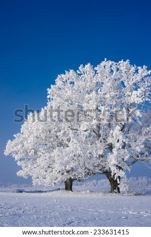 Snow covered tree on a cold sunny winter day, blue sky, - stock photo