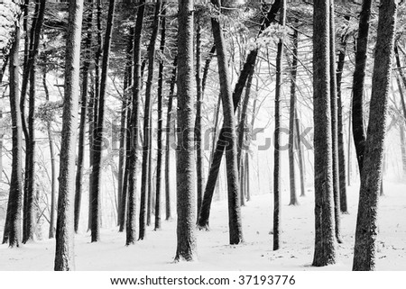 Snow covered trees and ground in winter forest