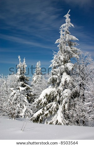 snow covered trees in Carpathian mountains