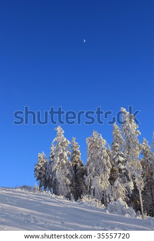 snow covered trees on sunny winter day with tiny moon