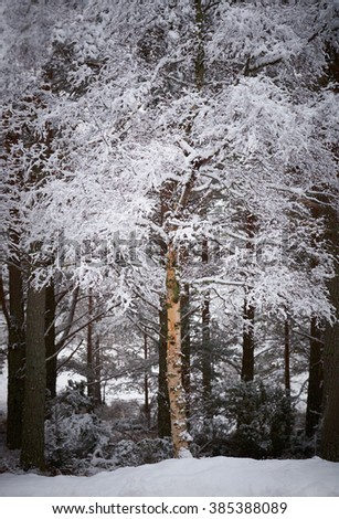 Snow covered tress at the Glenmore Forest Park, Cairngorms in the Scottish Highlands, UK. - stock photo