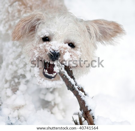 Snow covered white miniature schnauzer lap dog chewing on a stick in the snow - stock photo