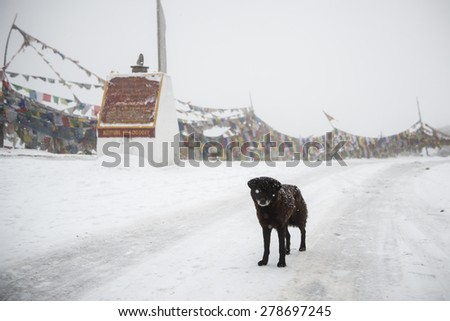 Snow dog at  high altitude  Bhutan