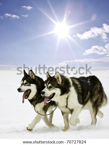 Snow dogs - stock photo