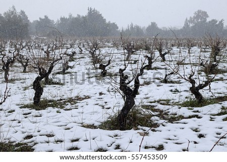 Snow falling over grapevine vineyard plantation. Winter weather.