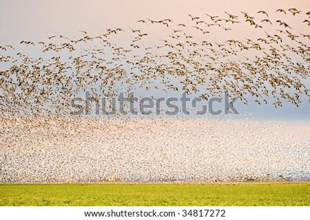 Snow geese - stock photo