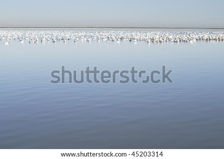 Snow Geese at Bombay Hook Wildlife Refuge in Winter Horizontal with Copy Space - stock photo