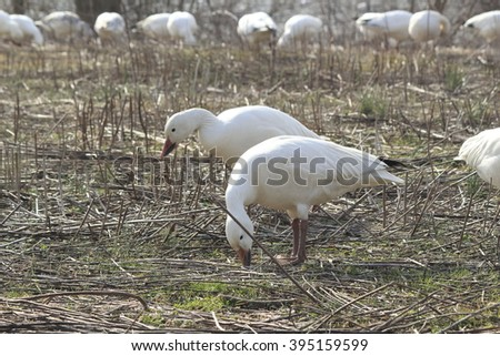 Snow geese eating - stock photo