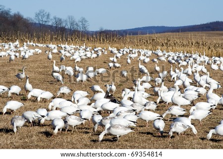 Snow Geese feeding at Middle Creek Wildlife Management Area,Lancaster County,Pennsylvania