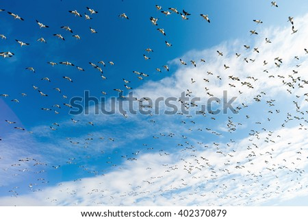 Snow Geese Flock Together Spring Migration Wild Birds - stock photo