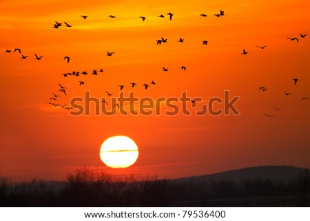 Snow Geese fly into sunrise at Middle Creek Wildlife Management Area,Lancaster County,Pennsylvania. - stock photo