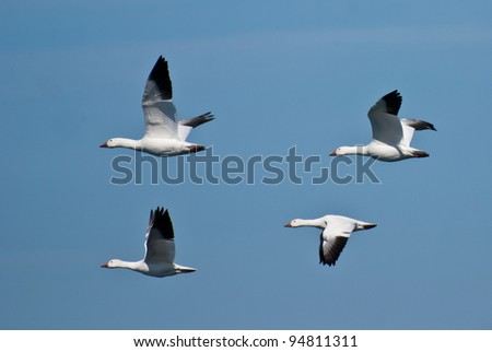 Snow Geese Flying Across Blue Sky - stock photo