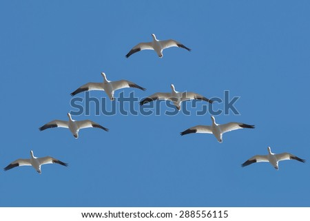 Snow Geese flying in a V formation across the blue sky. - stock photo