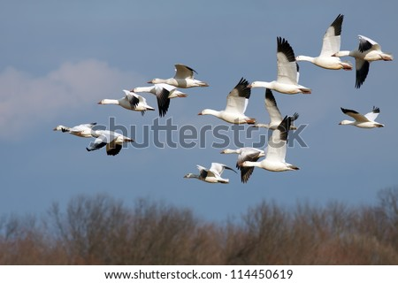 Snow Geese flying north during spring migration. - stock photo