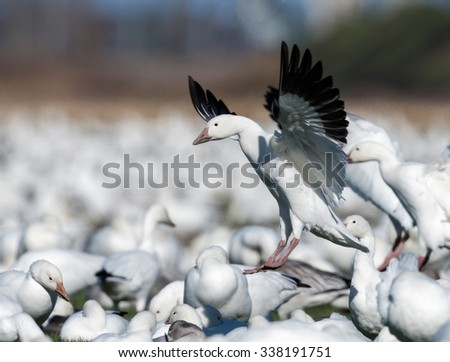 Snow Geese Landing to Rest During Migration South in Fall - stock photo