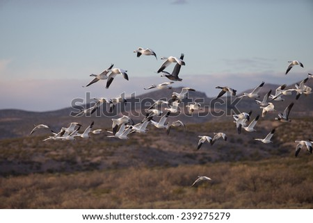 Snow geese leaving for feeding fields at Bosque del Apache National Wildlife Refuge, San Antonio, New Mexico - stock photo