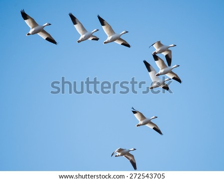 Snow Geese Migrating North in Spring on Blue Sky - stock photo