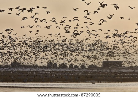 Snow Geese Migration in flight Saskatchewan Canada - stock photo
