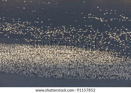 Snow Geese on Buffalo Pound Lake in flight Saskatchewan - stock photo