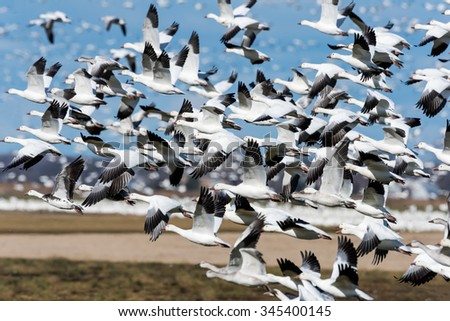 Snow Geese Take Off in Fall on Blue Sky - stock photo