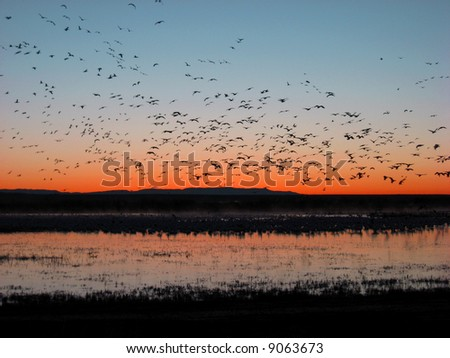 Snow geese taking off for their morning feeding during migration