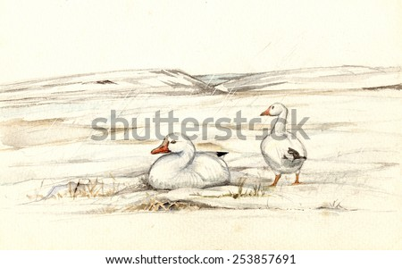 snow goose (Chen caerulescens), also known as the blue goose, nesting on the tundra - stock photo