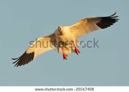 Snow goose (Chen caerulescens) landing at sunset. - stock photo