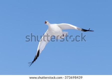 Snow Goose flying against clear sky. - stock photo