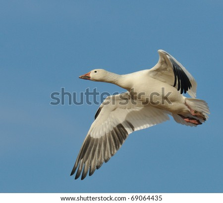 Snow Goose in Flight - stock photo
