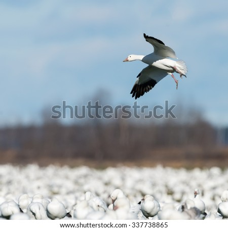 Snow Goose Landing to Rest During Migration South in Fall - stock photo