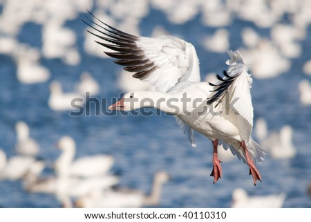 snow goose preparing to land on a lake - stock photo