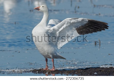 Snow Goose standing on a mud flap stretching his wings.