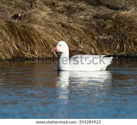 Snow Goose Swimming - stock photo